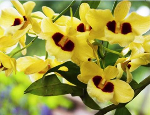 石斛兰 高山植物